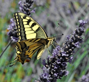 p_Papillon PND